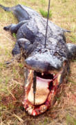 South Miami Florida Alligator Hunt!